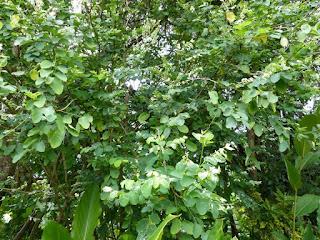 Breynie neigeuse - Breynie lépreuse - Breynia disticha