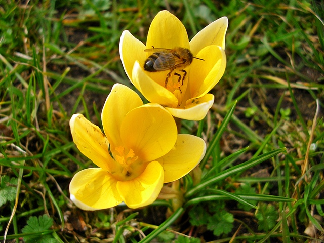 krokusy, żółty, kwiaty, trawa