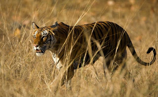 Tiger National Park, India Tengah