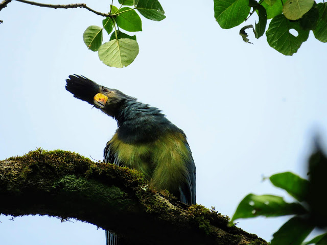50 Awesome Birds You Can See in Uganda: Uganda's blue turaco bird in Bigodi Wetlands
