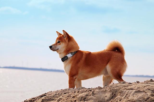 Asian dog breeds, Asian puppy