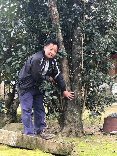 Ông Lê Minh đứng đo cây Mộc Hương trăm tuổi