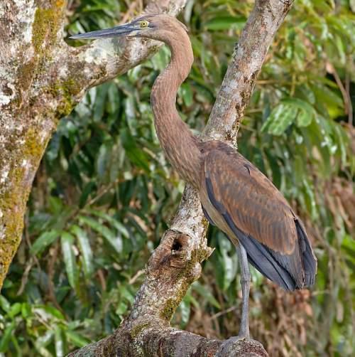 Great-billed heron - Ardea sumatrana