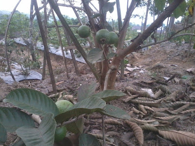 Foto Pohon Jambu Biji Merah Sukorejo