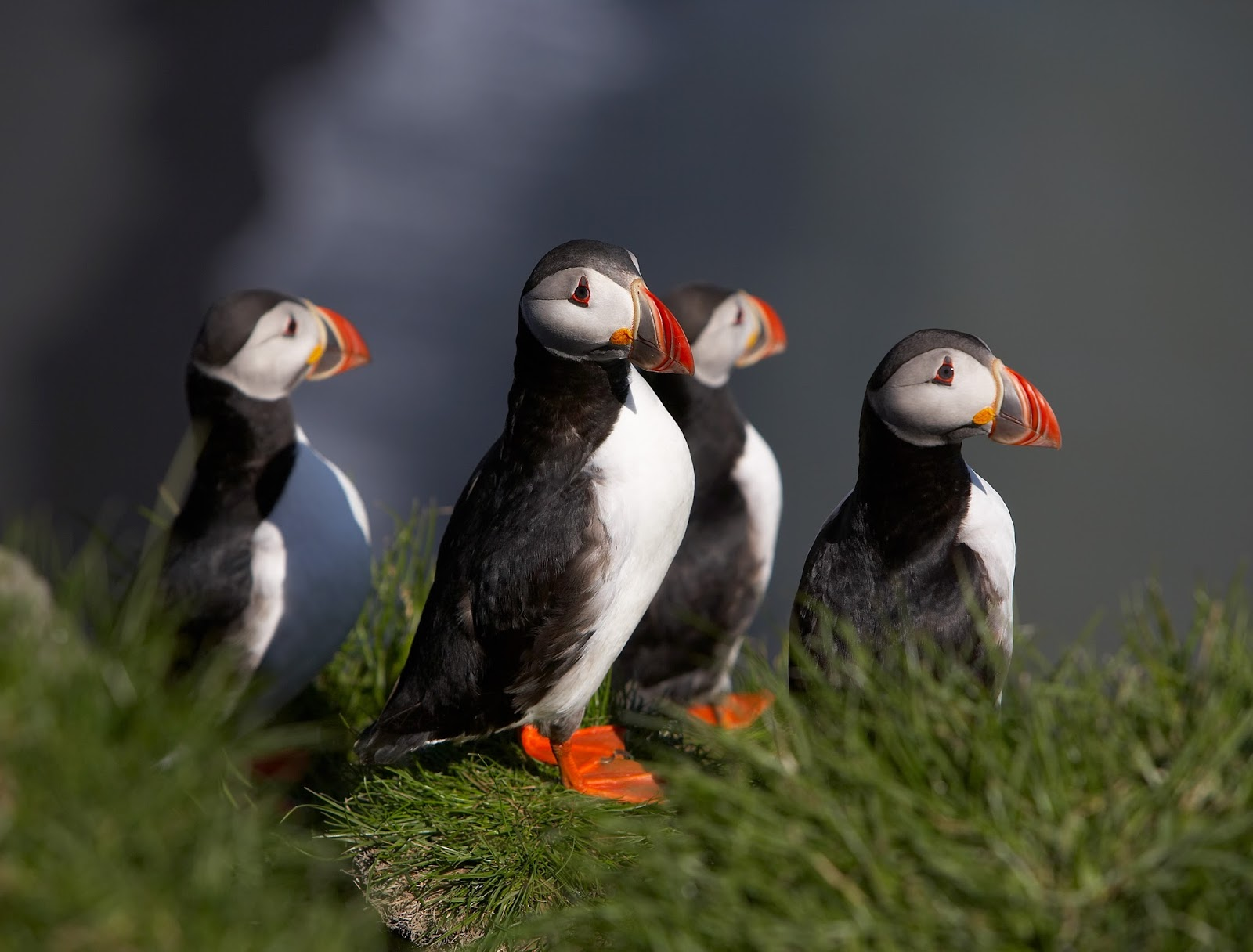 Iceland: A Group of Puffins