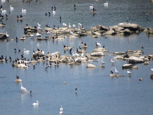 cormorants, white pelicans, blue herons
