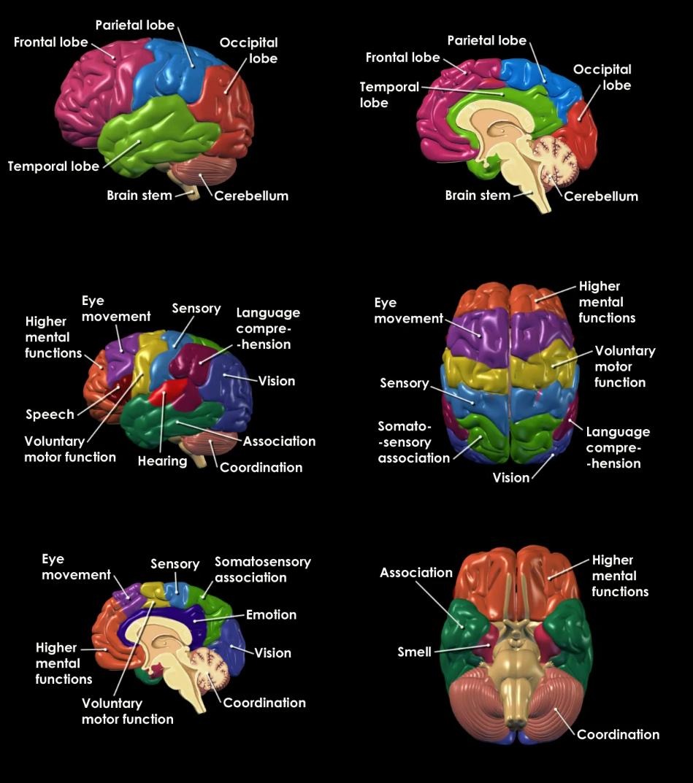 BRAIN-COMPUTER INTERFACES over EEG: Brain Anatomy