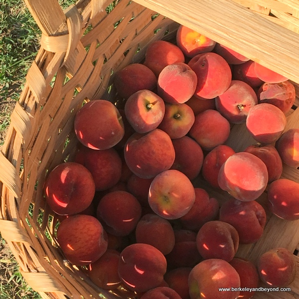 ripe peaches in a basket at Nash Farm in Grapevine, Texas