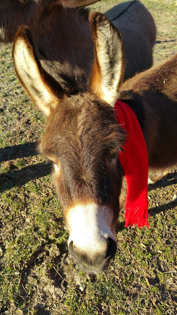 close-up-of-mini-donkey-in-red-scarf