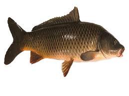 Cá chép là cá gì? giá bao nhiêu tiền 1kg?