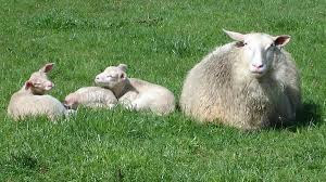 Pengertian Domba