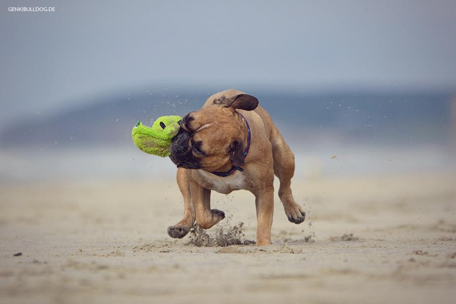 Hundeblog Genki Bulldog - Abenteuer einer französischen Bulldogge  - Korkodile in der Normandie