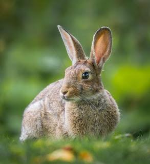 Fabula el Conejo Comelon