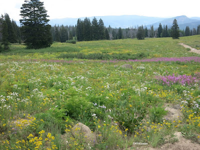 midsummer wildflowers, Colorado Rockies