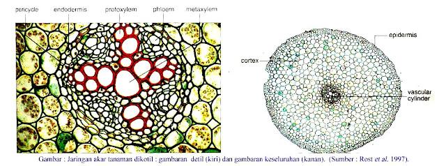 Struktur Akar Primer pada Tumbuhan