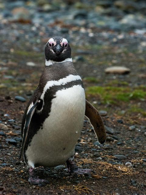 Las patas de los pingüinos se sitúan en el extremo posterior del cuerpo donde, aunque comprometen seriamente su desplazamiento en tierra son extremadamente útiles para hacer de timón durante las inmersiones.