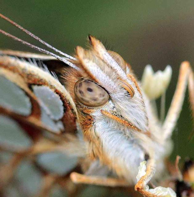 Kleiner Perlmutterfalter, Issoria lathonia