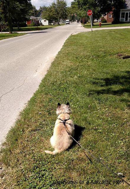 Clark Kent, a wheaten coated Cairn Terrier