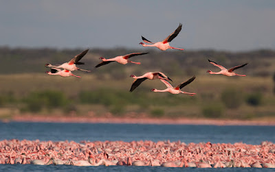 Lesser flamingo – World Migratory Bird Day