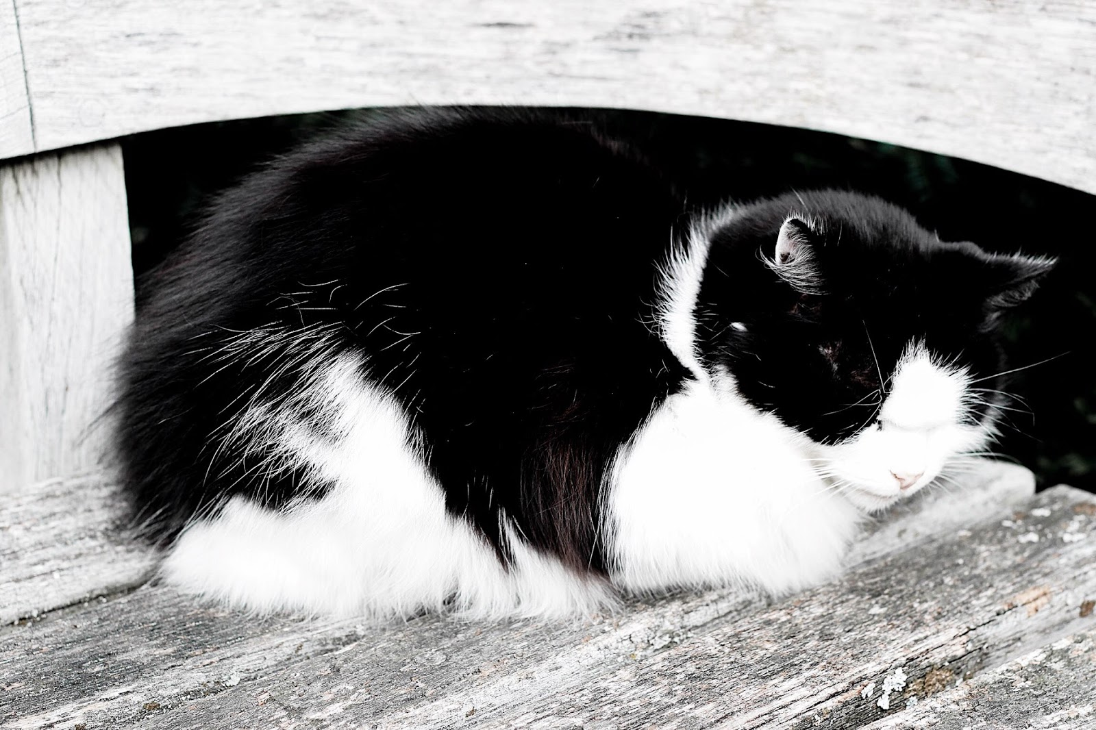 Adorable curled up black and white cat