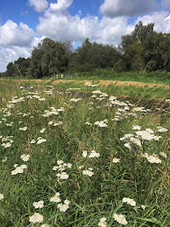 Yarrow on Shapwick Heath