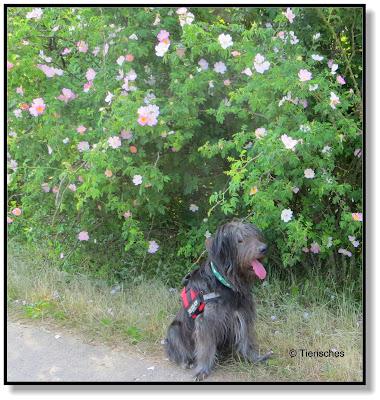 Lotte bei den Rosen