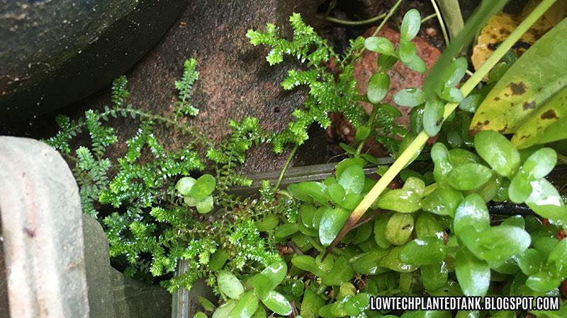 selaginella plant