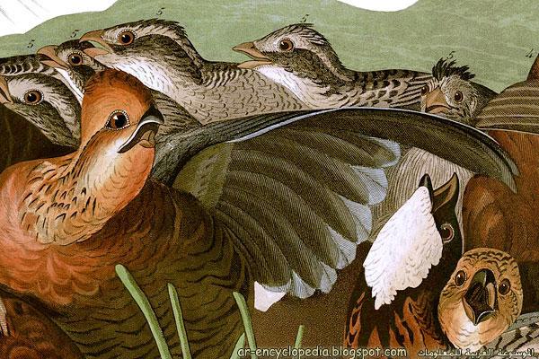 John James Audubons Birds of America   Plate 76 2528Detail2529