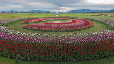 Festival de Tulipanes en el Valle de Skagit en Estados Unidos