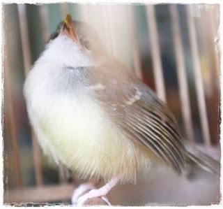 Burung Ciblek - Mengapa Burung Ciblek Kesayangan Anda Nyekukruk - Penangkaran Burung Ciblek