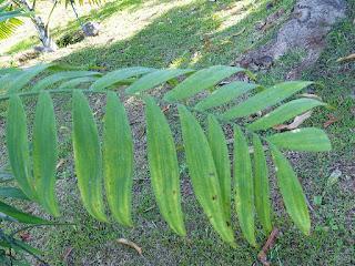 Chamaedorea microspadix - Palmier-bambou