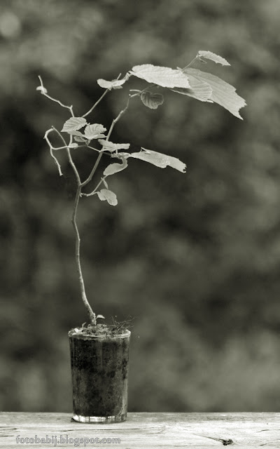 http://fotobabij.blogspot.com/2015/08/bonsai-w-niskiej-szklance-sepia-azx-a.html