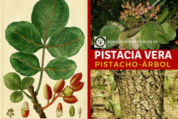 Pistacho, Pistacia vera, árbol que se adapta muy bien a la sequía estival propia del clima mediterráneo.