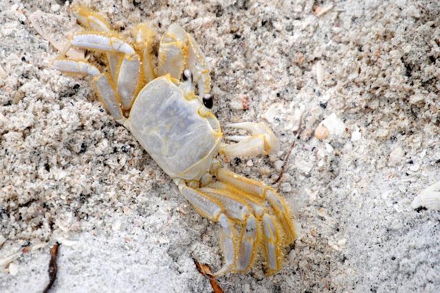 Ghost Crab on the Gulf Coast