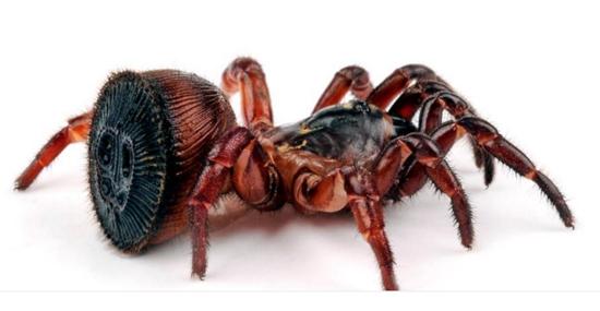 Cyclocosmia Ricketti - aranha rara