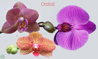orchid flower, orchid