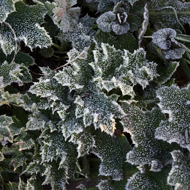 Leaves with ice crystals around the edges
