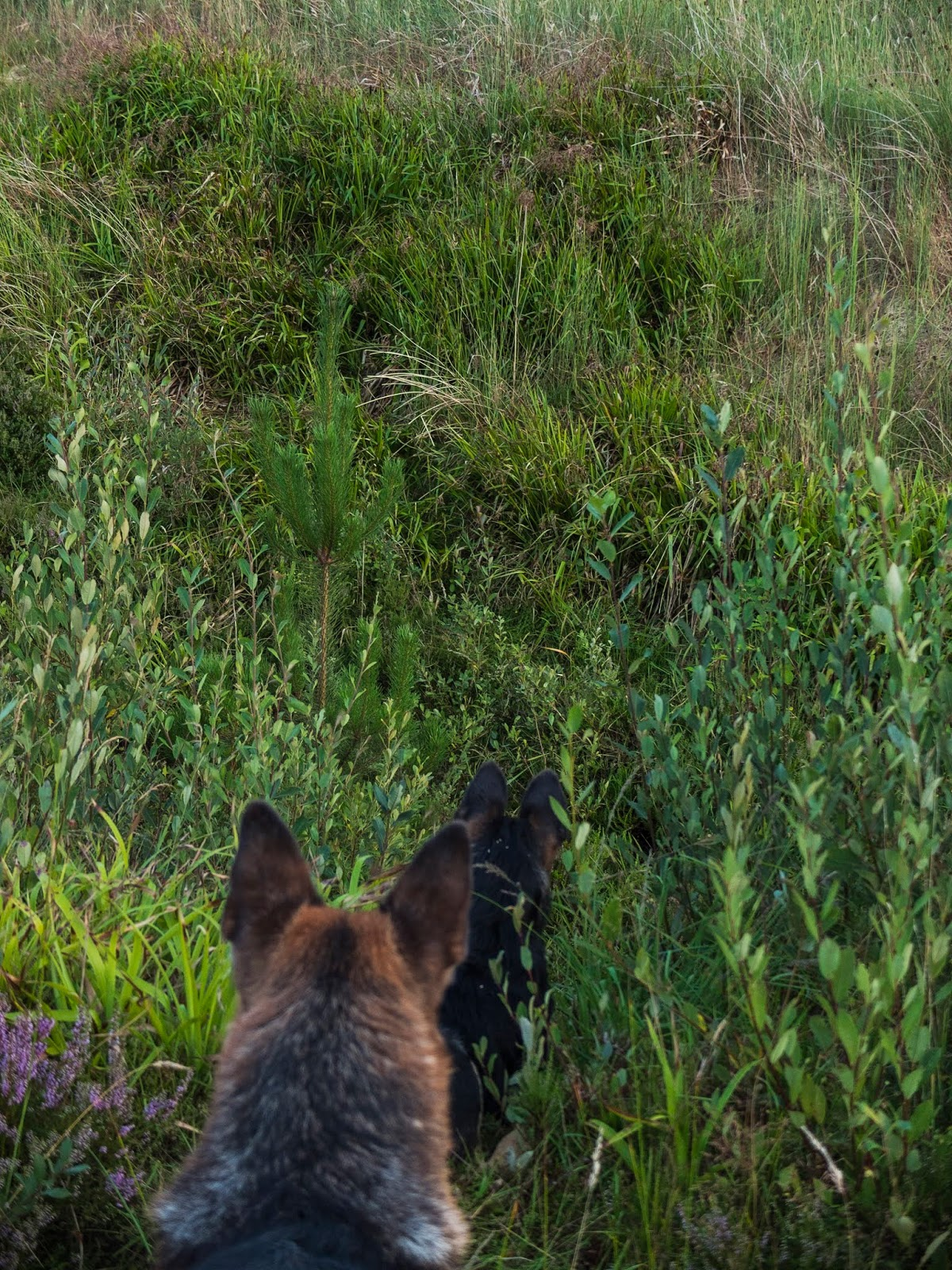 A German Shepherd with a puppy looking for mum in long grass.