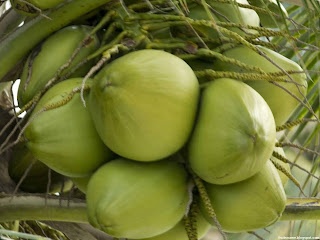 Coconut fruit images wallpaper