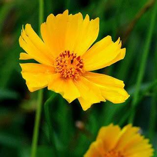 Gambar Bunga Aster yang Cantik 14