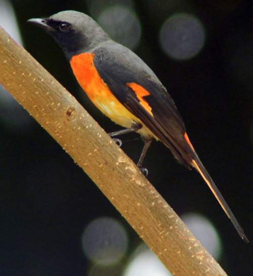 Birds of India - Photo of Small minivet - Pericrocotus cinnamomeus