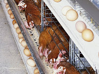 Cara Beternak Ayam Petelur