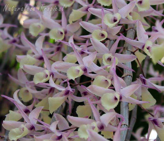 Floración espectacular de la orquídea Dendrobium pierardii