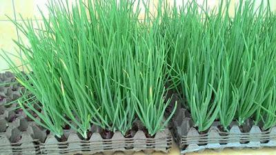 tanaman hidroponik bawang merah