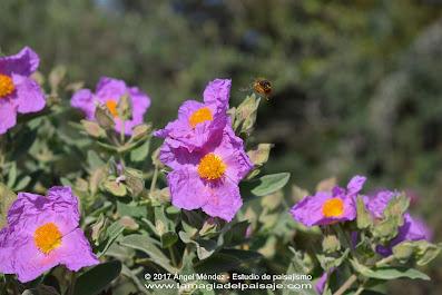cistus albidus, dehesa, jara, xerojardinería, arbustos hoja perenne, jara blanca, jardines naturalizados