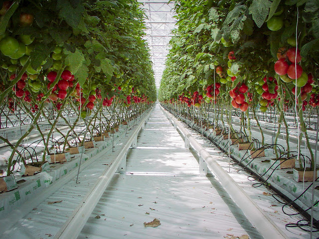 Sayuran Sehat Tanpa Pestisida Hasil Hidroponik