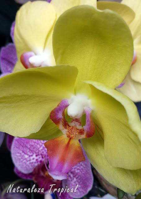 Variedad amarilla de la flor de una orquídea Mariposa, género Phalaenopsis