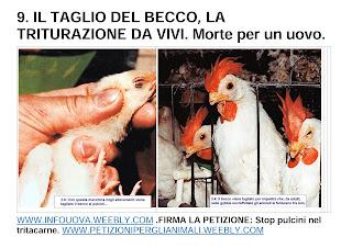 IL TAGLIO BEL BECCO, LA TRITURAZIONE DA VIVI. Morte per un uovo.