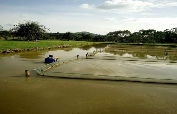 Feeding In Tilapia Fish Farming Feasibility Study