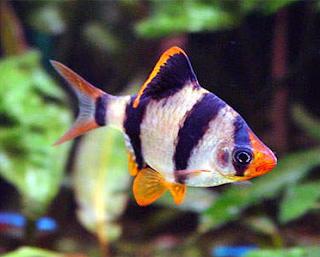 Jenis Ikan Hias Air Tawar  Aquarium Ikan Sumatra